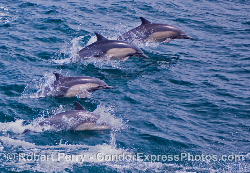 A quartet of common dolphins (<em>Delphinus capensis</em>) leaping across the waves.