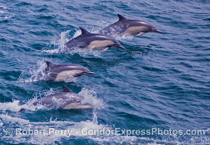 A quartet of common dolphins (<em>Delphinus capensis</em>) leaping across the waves.