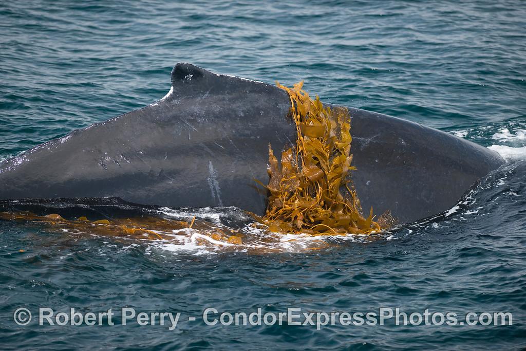 Ring of kelp - Kelping behavior - a humpback whale (<em>Megaptera novaeangliae</em>) plays around in a large drifting, detached paddy of giant kelp (<em>Macrocystis pyrifera</em>).