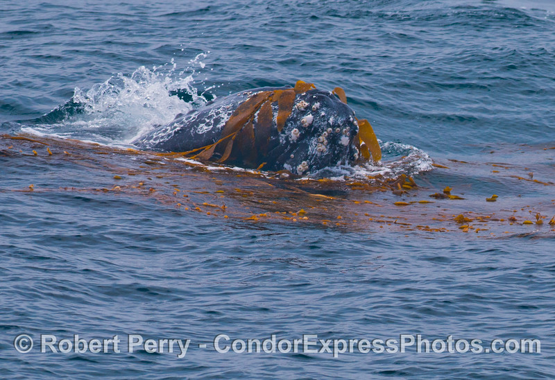 Sideways head shot - Kelping behavior - a humpback whale (<em>Megaptera novaeangliae</em>) plays around in a large drifting, detached paddy of giant kelp (<em>Macrocystis pyrifera</em>).