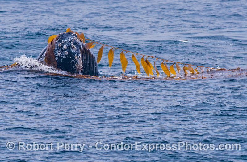 Flying the flags - a humpback whale (<em>Megaptera novaeangliae</em>) plays around in a large drifting, detached paddy of giant kelp (<em>Macrocystis pyrifera</em>).