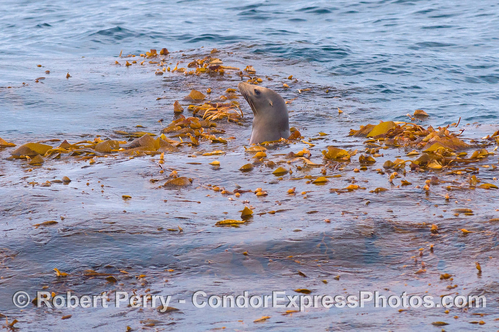 A California sea lion (<em>Zalophus californianus</em>) rests an hides in a drifting detached giant kelp paddy (<em>Macrocystis pyrifera</em>). This was just a few seconds before the humpback whale discovered this kelp.