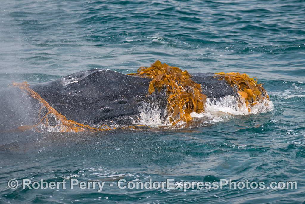 Kelp snout and blowhole - Kelping behavior - a humpback whale (Megaptera novaeangliae) plays around in a large drifting, detached paddy of giant kelp (Macrocystis pyrifera).