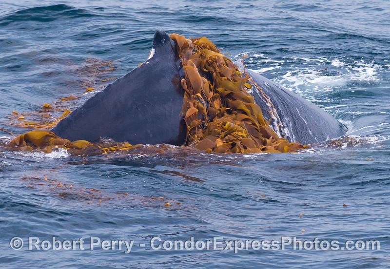 Dorsal fin - Kelping behavior - a humpback whale (<em>Megaptera novaeangliae</em>) plays around in a large drifting, detached paddy of giant kelp (<em>Macrocystis pyrifera</em>).