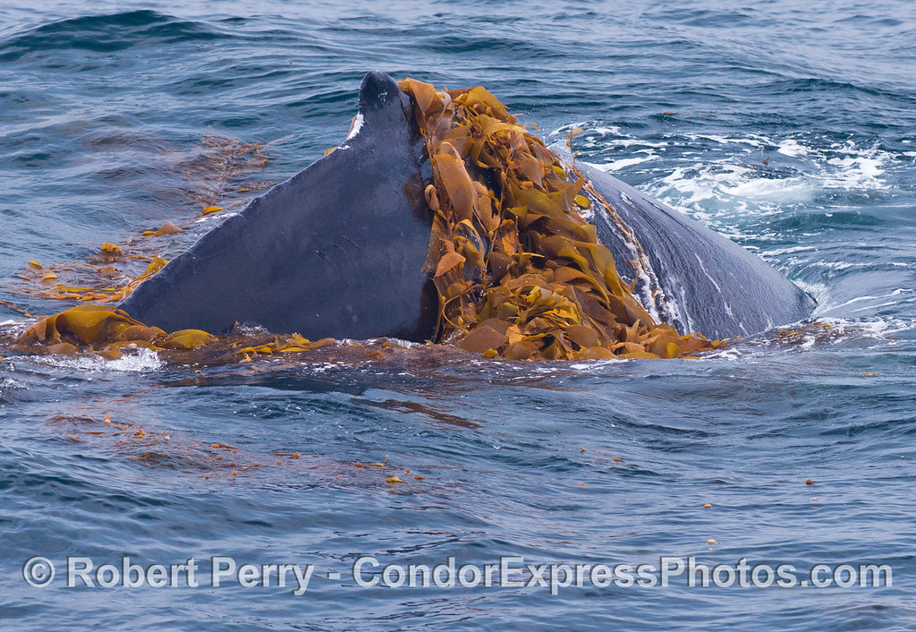 Dorsal fin - Kelping behavior - a humpback whale (<em>Megaptera novaeangliae</em>) plays around in a large drifting, detached paddy of giant kelp (<em>Macrocystis pyrifera</em>).