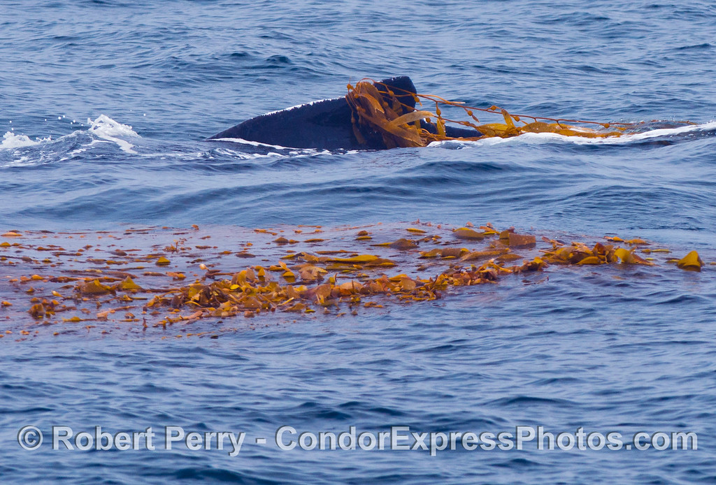 Kelping behavior - a humpback whale (Megaptera novaeangliae) plays around in a large drifting, detached paddy of giant kelp (Macrocystis pyrifera).