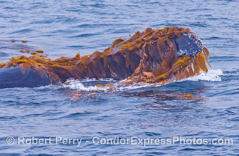 Whale upside down, head view - Kelping behavior - a humpback whale (<em>Megaptera novaeangliae</em>) plays around in a large drifting, detached paddy of giant kelp (<em>Macrocystis pyrifera</em>).
