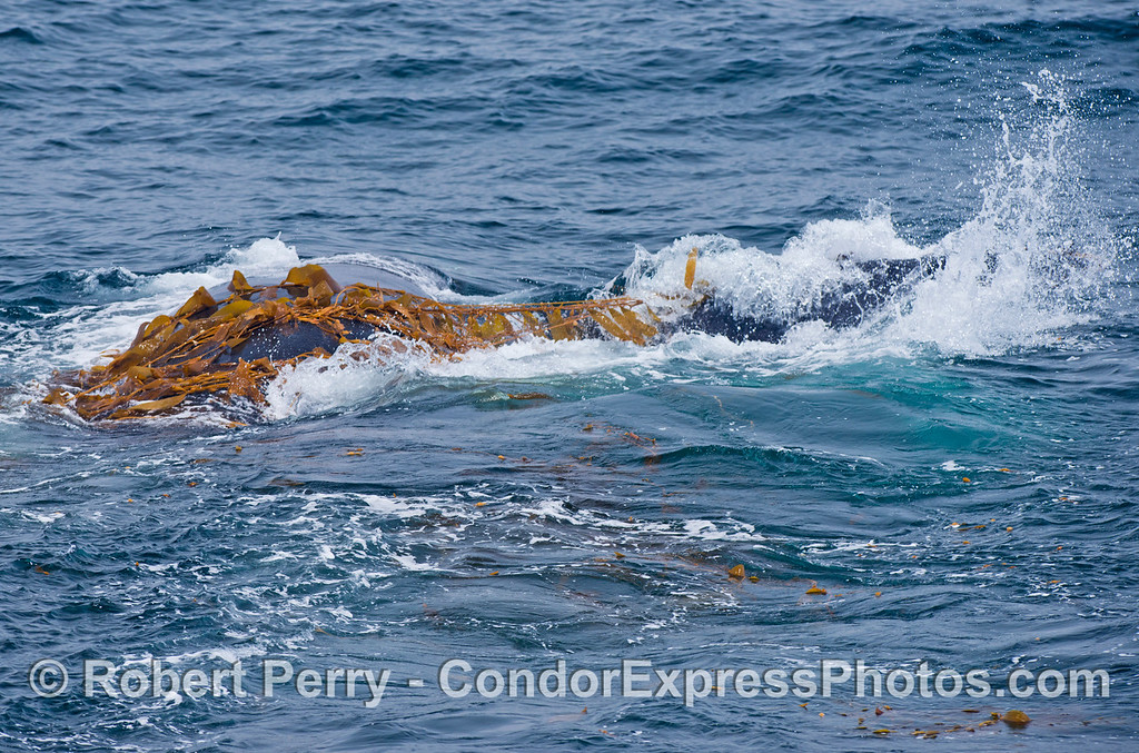 Rolling around - Kelping behavior - a humpback whale (Megaptera novaeangliae) plays around in a large drifting, detached paddy of giant kelp (Macrocystis pyrifera).