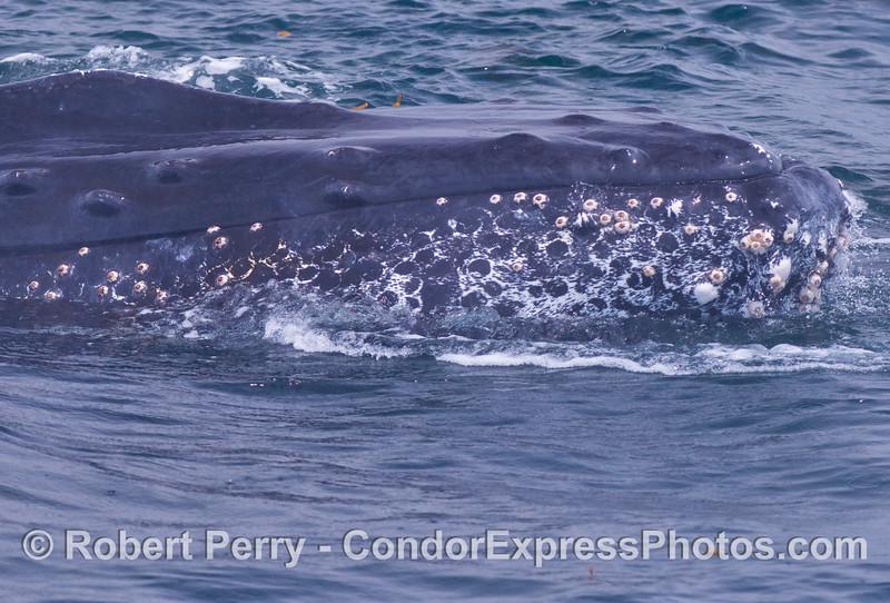 humpback whale (<em>Megaptera novaeanliae</em>)