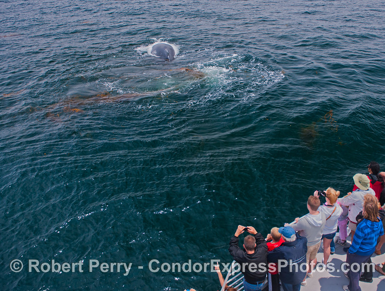 A humpback whale (<em>Megaptera novaeanliae</em>) and some human beings (<em>Homo sapiens</em>).