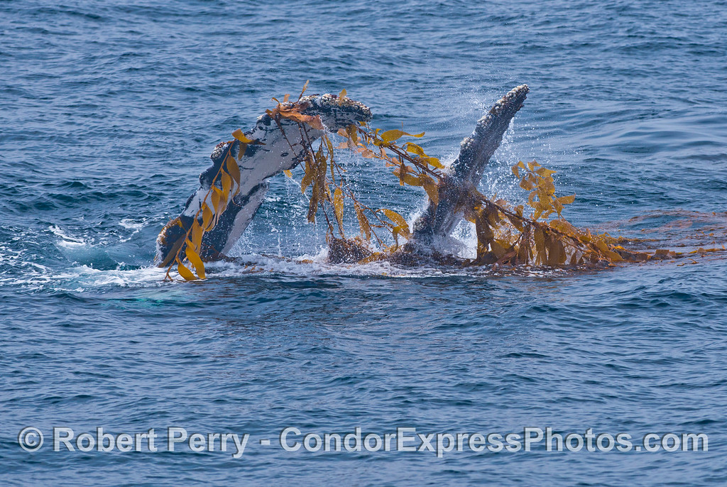 Pectoral and tail fins, whale on its right side - Kelping behavior - a humpback whale (<em>Megaptera novaeangliae</em>) plays around in a large drifting, detached paddy of giant kelp (<em>Macrocystis pyrifera</em>).