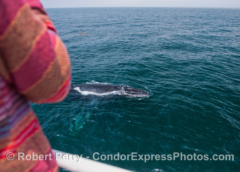 A Condor express whale watcher gets a great look at the entire body of a humpback whale (<em>Megaptera novaeanliae</em>) in clear, blue water.