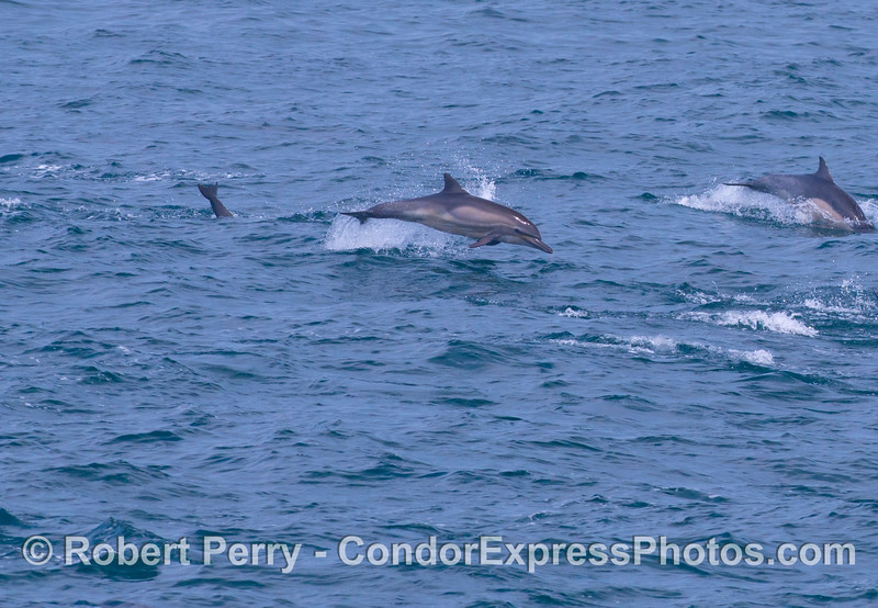 A leaping common dolphin (<em>Delphinus capensis</em>).