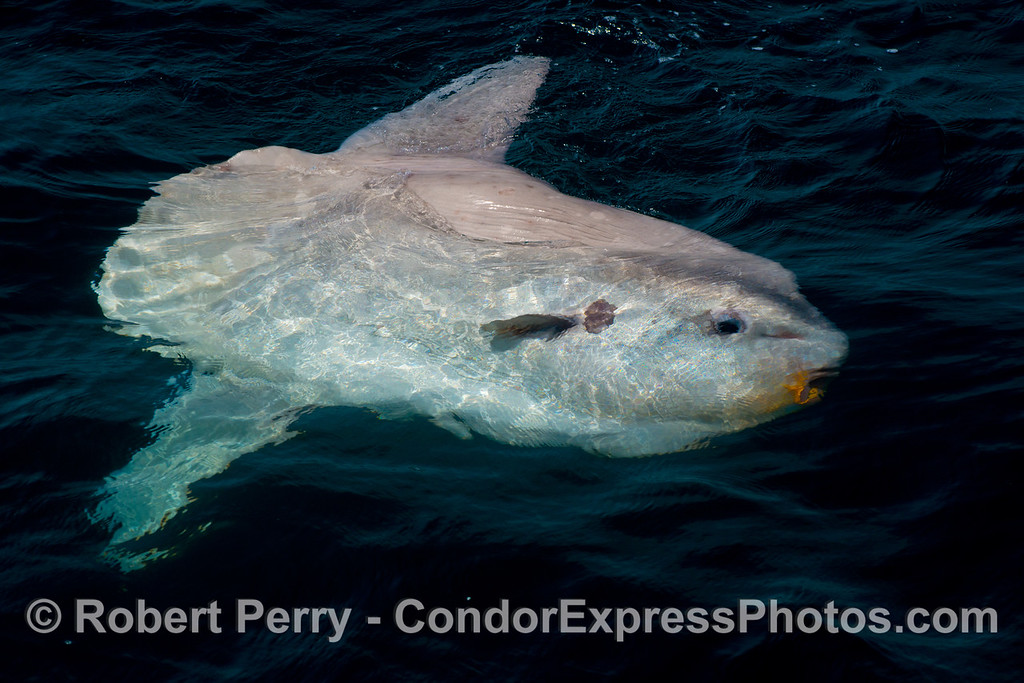 Whole body view of an ocean sunfish (<em>Mola mola</em>).