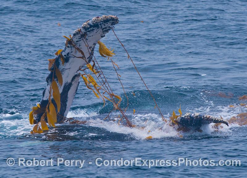 Pectoral and tail fins - Kelping behavior - a humpback whale (<em>Megaptera novaeangliae</em>) plays around in a large drifting, detached paddy of giant kelp (<em>Macrocystis pyrifera</em>).