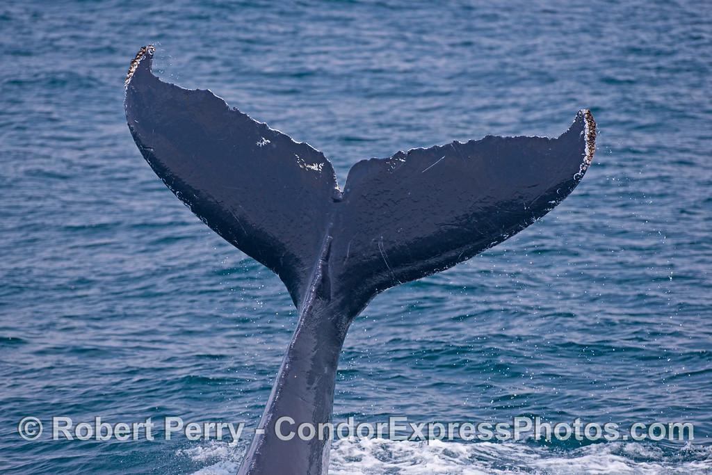 Big tail flukes of a humpback whale (<em>Megaptera novaeanliae</em>).