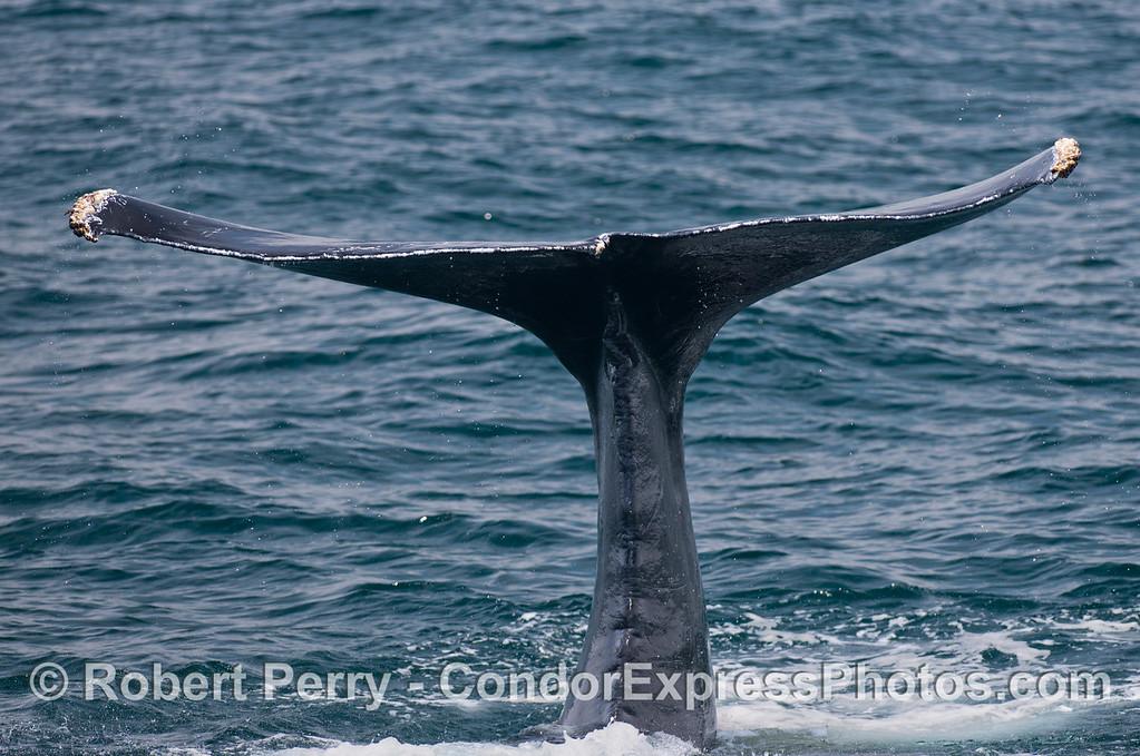 Curved tail flukes of a humpback whale (<em>Megaptera novaeanliae</em>).