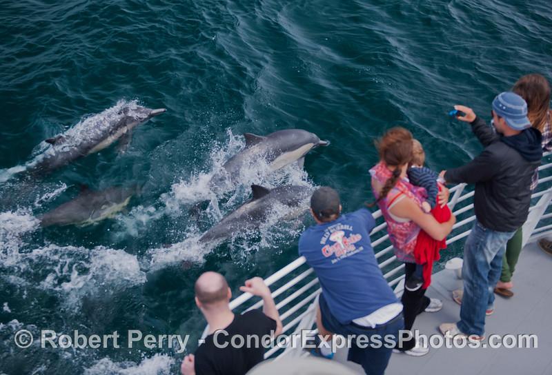 Common dolphins (<em>Delphinus capensis</em>) ride the bow of the Condor Express.
