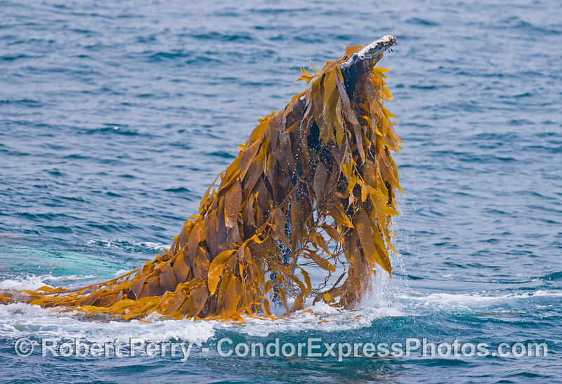 Pectoral flipper - Kelping behavior - a humpback whale (<em>Megaptera novaeangliae</em>) plays around in a large drifting, detached paddy of giant kelp (<em>Macrocystis pyrifera</em>).
