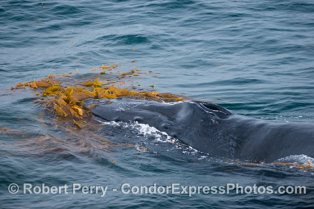 Head and blowholes - Kelping behavior - a humpback whale (Megaptera novaeangliae) plays around in a large drifting, detached paddy of giant kelp (Macrocystis pyrifera).