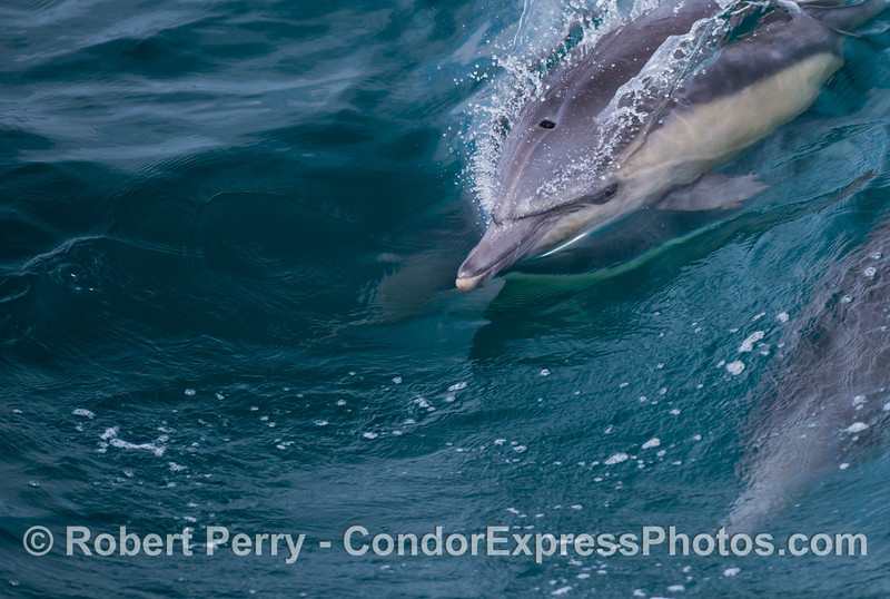 A close look at the head of a surfing common dolphin (<em>Delphinus capensis</em>).
