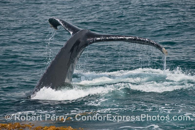 Tail flukes - a humpback whale (<em>Megaptera novaeangliae</em>).