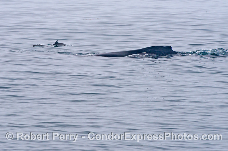 A common dolphin (<em>Delphinus capensis</em>) and a humpback whale (<em>Megaptera novaeangliae</em>).