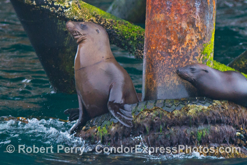 A close look at a California sea lion (<em>Zalophus californianus</em>) with entanglement scars - Platform Holly.