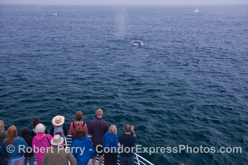 Condor express humans (<em>Homo sapiens</em>) get great looks at a humpback whale (<em>Megaptera novaeangliae</em>).