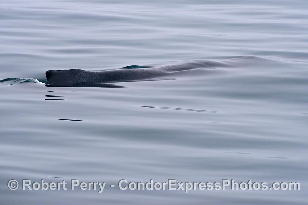 """Rope,"" the humpback whale (<em>Megaptera novaeangliae</em>) glides thgrough a glassy ocean surface."