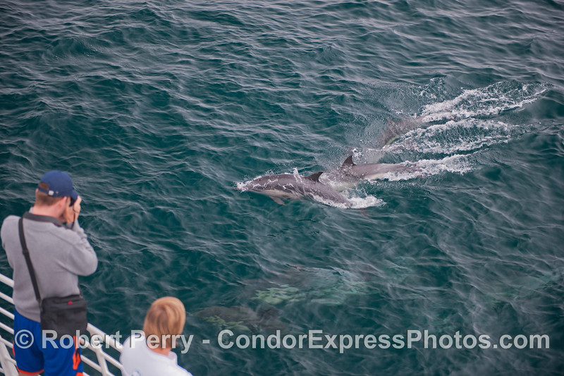 Photographer snaps a few pics of a group of long beaked common dolphins (<em>Delphinus capensis</em>).
