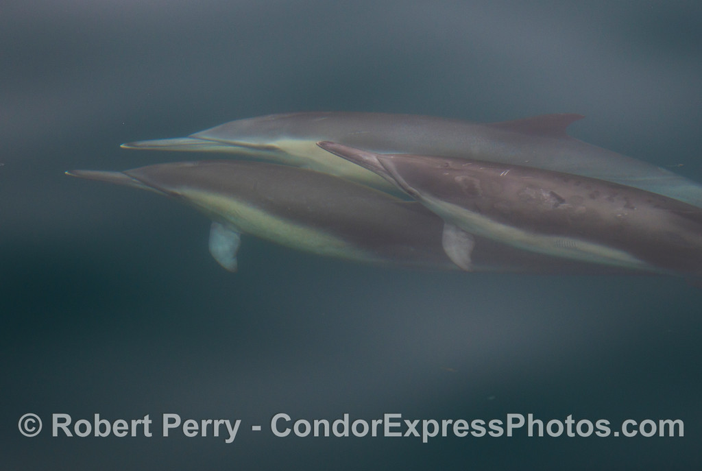 One of a series of seven images featuring long beaked common dolphins (<em>Delphinus capensis</em>) underwater.