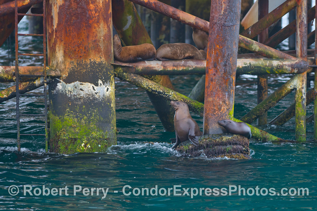 California sea lions (<em>Zalophus californianus</em>) resting on the supporting superstructure of Platform Holly.