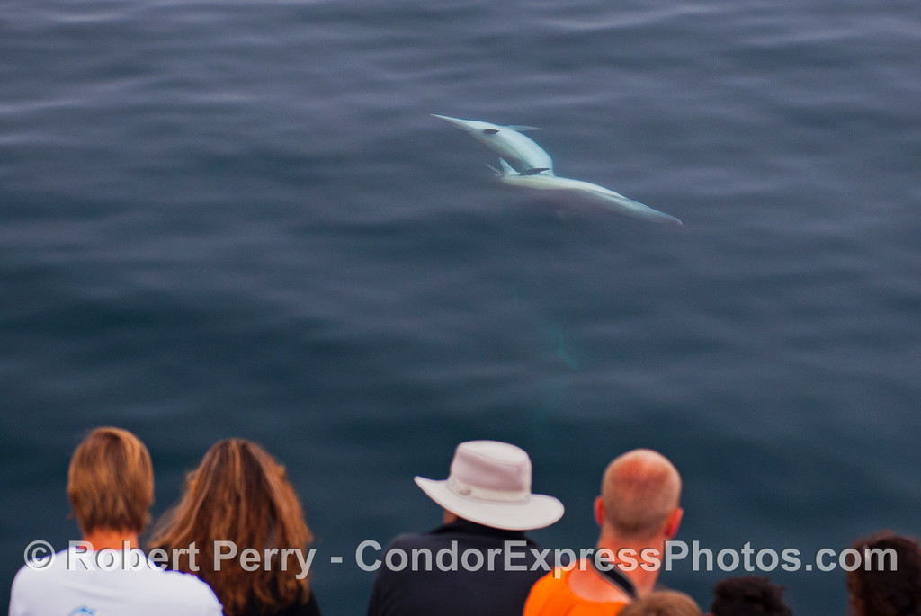 Two long beaked common dolphins (<em>Delphinus capensis</em>) shamelessly cavort right in front of the Condor Express.