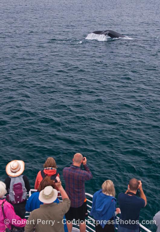 "A ""Kodak moment"" as a large humpback whale (<em>Megaptera novaeangliae</em>)  flukes up close to the Condor Express."