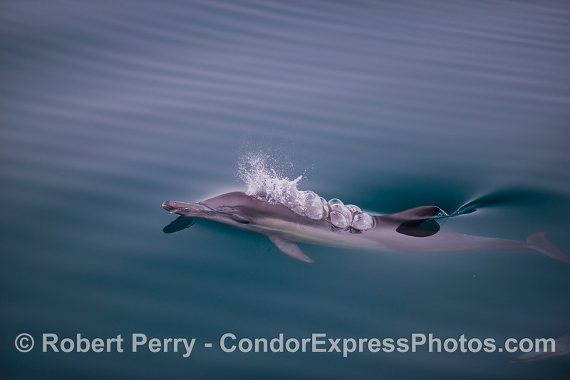 "A long beaked common dolphin (<em>Delphinus capensis</em>) ""bubbles up"" to the glassy rippled surface."