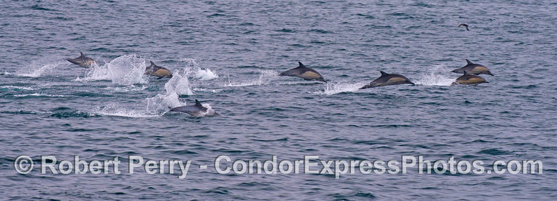 One of two panorama photographs of long beaked common dolphins (<em>Delphinus capensis</em>) on the move.