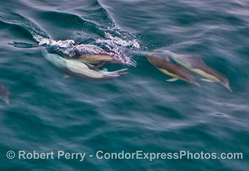 Long beaked common dolphins (<em>Delphinus capensis</em>) courtship behavior.