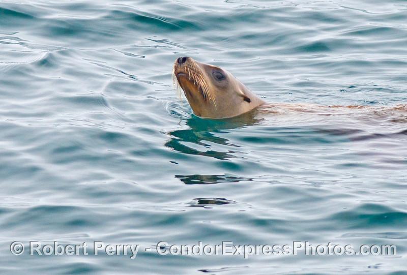 A curious California sea lion (<em>Zalophus californianus</em>).