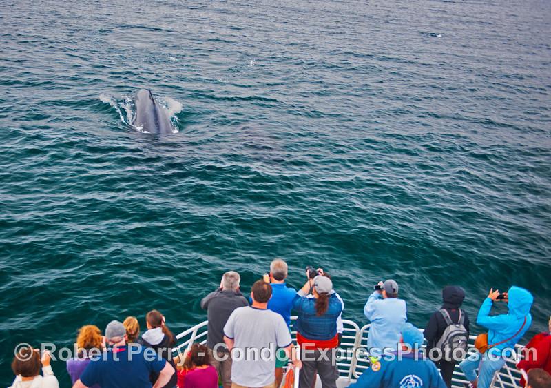 A humpback whale (<em>Megaptera novaeangliae</em>) makes a close approach to the Condor Express.