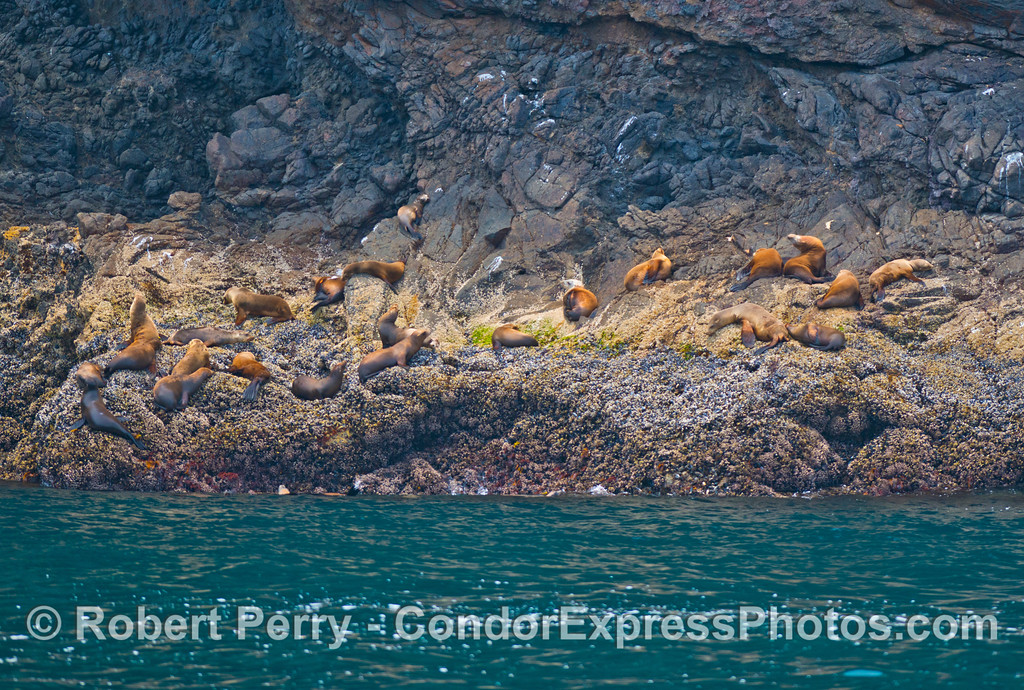 A group of California sea lions (<em>Zalophus californianus</em>) hauled out on a rocky ledge near the Painted Cave on Santa Cruz Island.