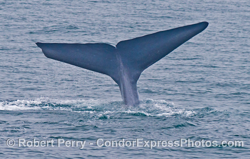 The extra wide tail flukes of a giant blue whale (<em>Balaenoptera musculus</em>) as it begins a deep dive.