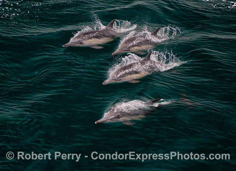 A quartet of common dolphins (<em>Delphinus capensis</em>).