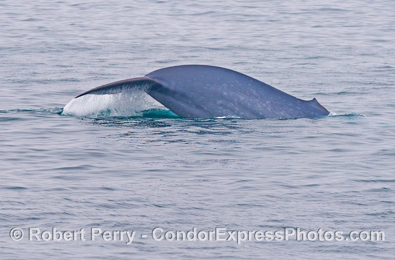 Image 1 of 3:  The thick tail stock of a giant blue whale (<em>Balaenoptera musculus</em>) as it begins a deep dive.