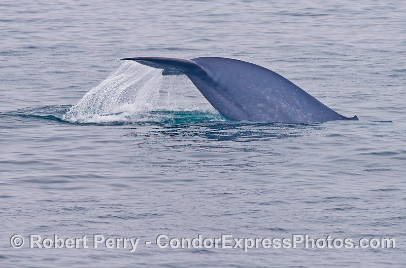 Image 2 of 3:  The thick tail stock of a giant blue whale (<em>Balaenoptera musculus</em>) as it begins a deep dive.