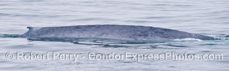 The right flanks and dorsal fin of a giant blue whale (<em>Balaenoptera musculus</em>).  This panorama picture shows about half of the animal.