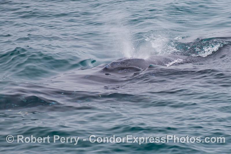 A detailed view of a spouting humpback whale (<em>Megaptera novaeangliae</em>).
