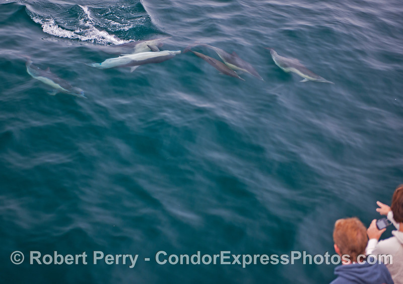 Ccommon dolphins (<em>Delphinus capensis</em>) cavort in front of cetacean watchers on board the Condor Express.