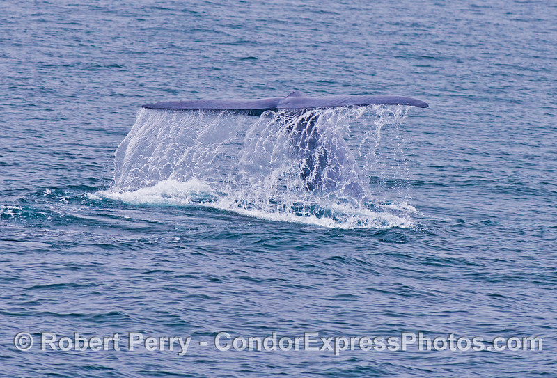 A waterfall created by the tail flukes of a giant blue whale (<em>Balaenoptera musculus</em>).