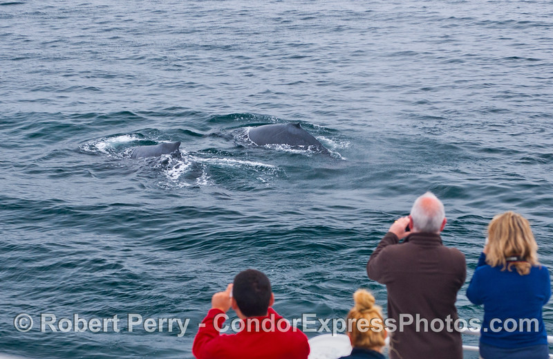 Two humpback whales (<em>Megaptera novaeangliae</em>) provide a great photographic opportunity for Condor Express humans.